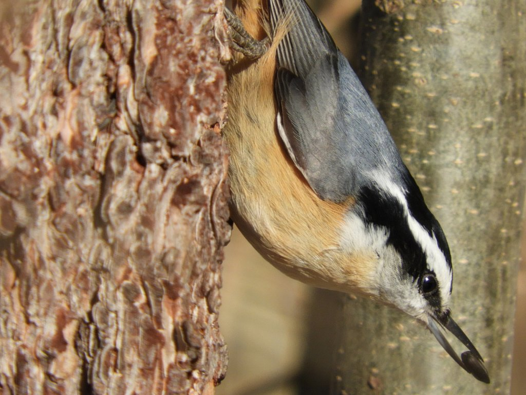 A Red Breasted Nuthatch